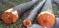 Supplier of beech wood