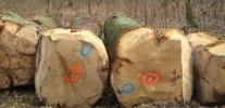 Grumes de bois de chêne
